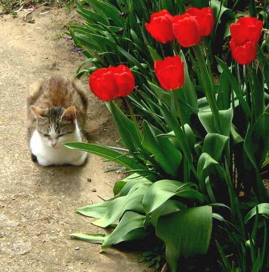 tulipánok őre - tacsifotó -