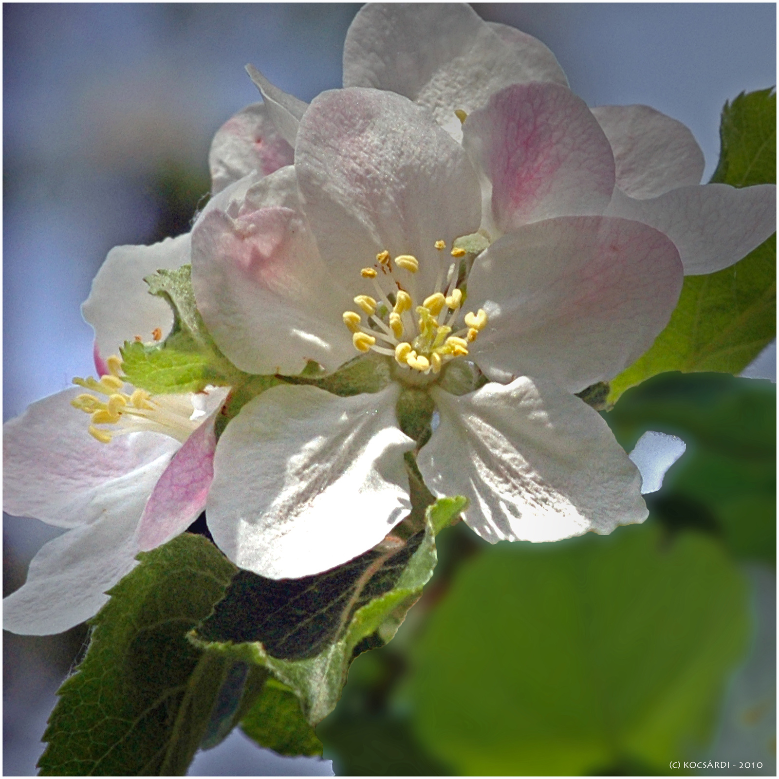alma virágok 005