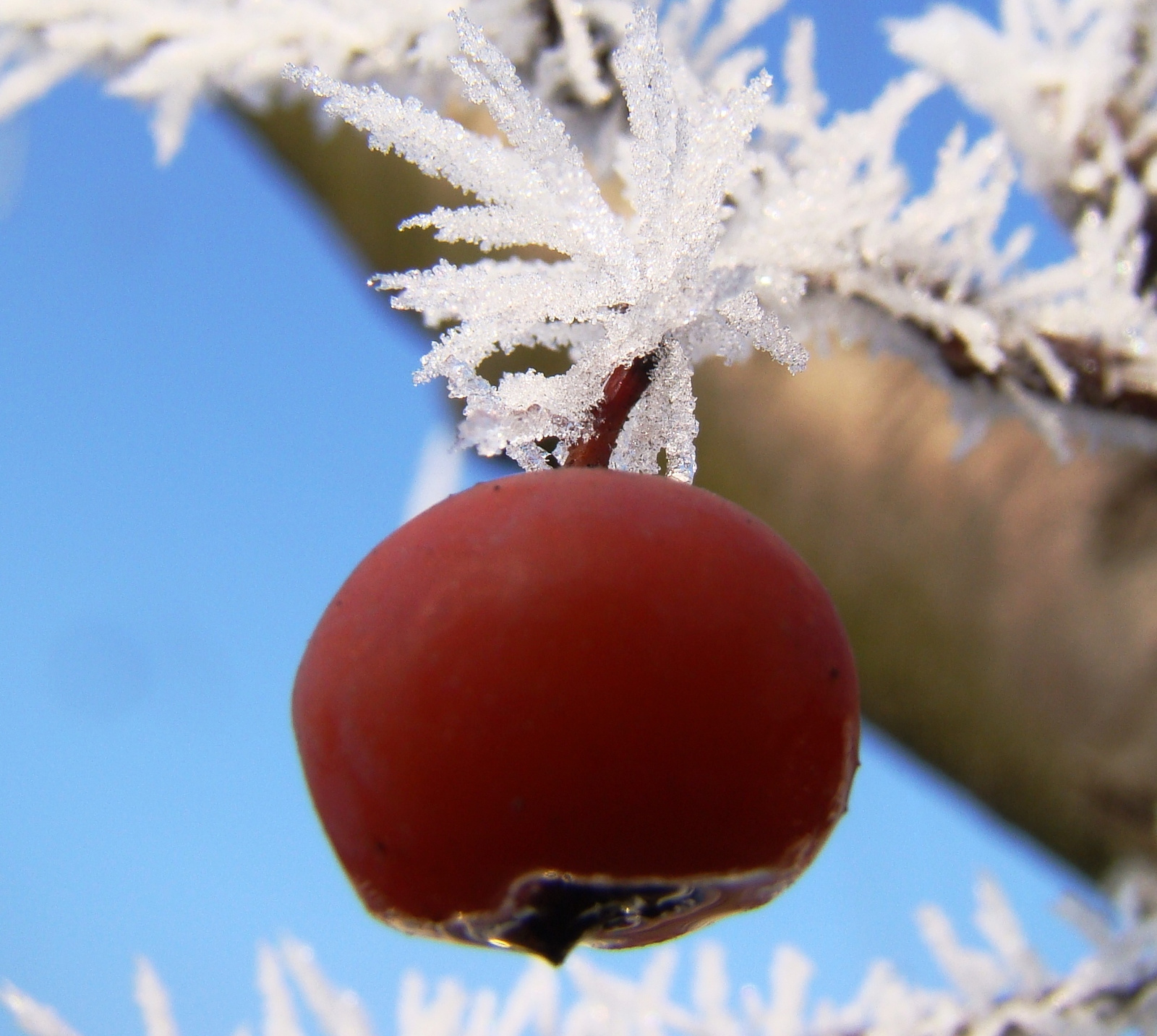 Téli cseresznye