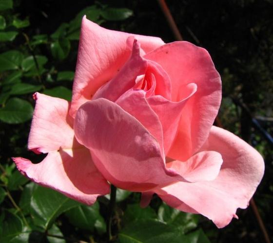 rózsaszál1